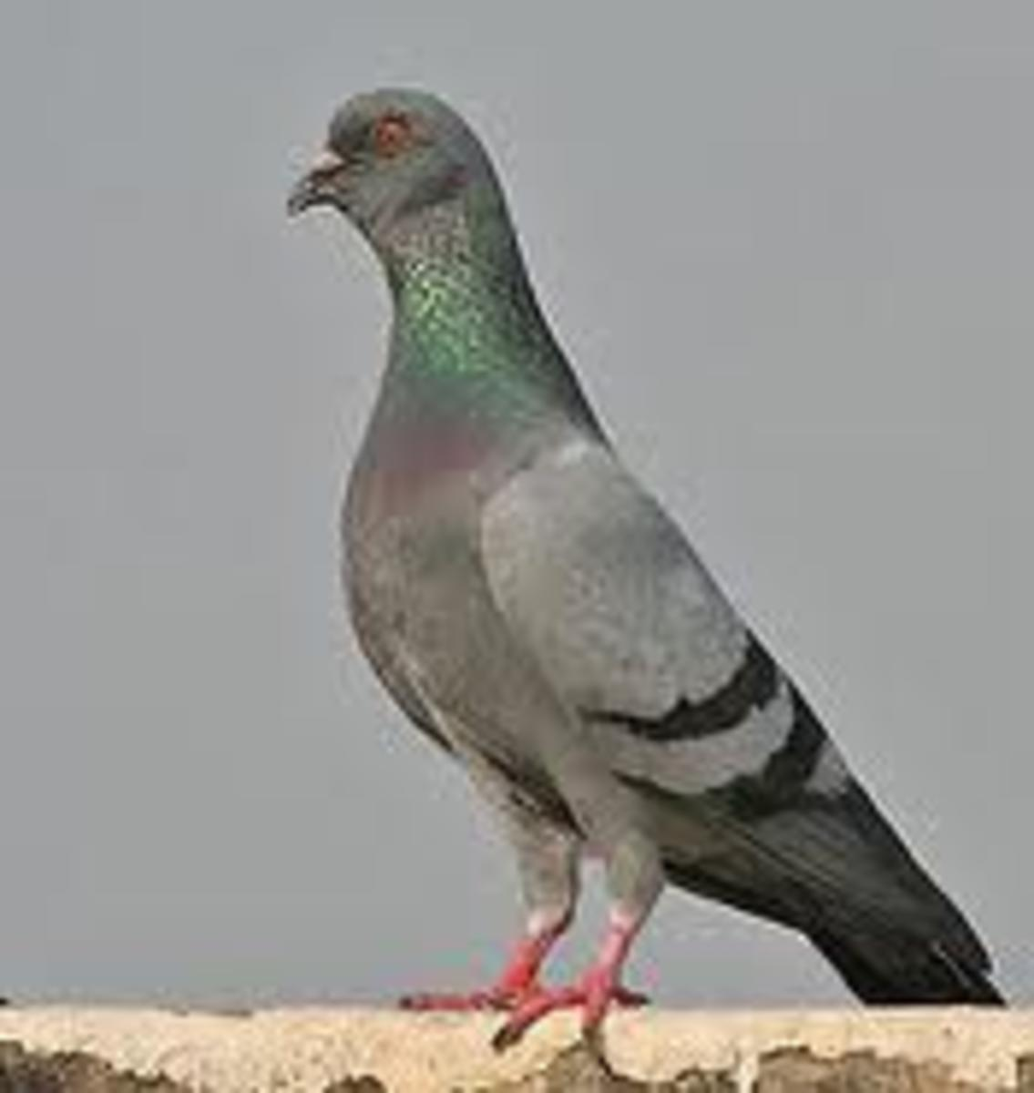A Rock Pigeon, courtesy of Wikipedia