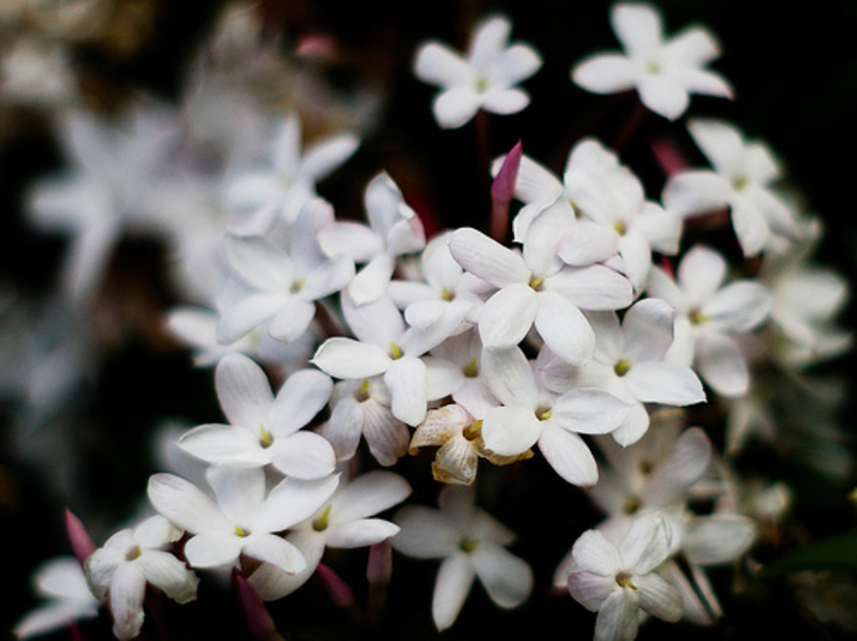 Jasmine Flower Plants, Tea and Symbolism with Pictures