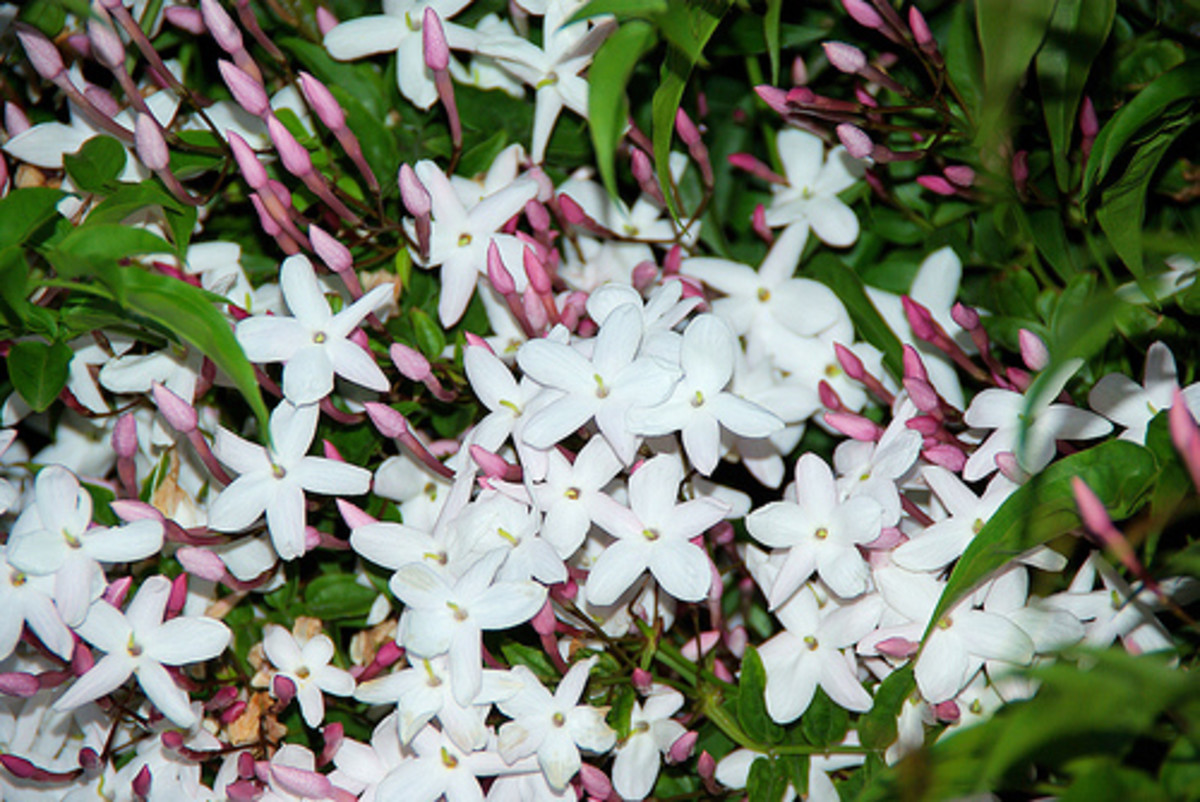 Jasmine bush