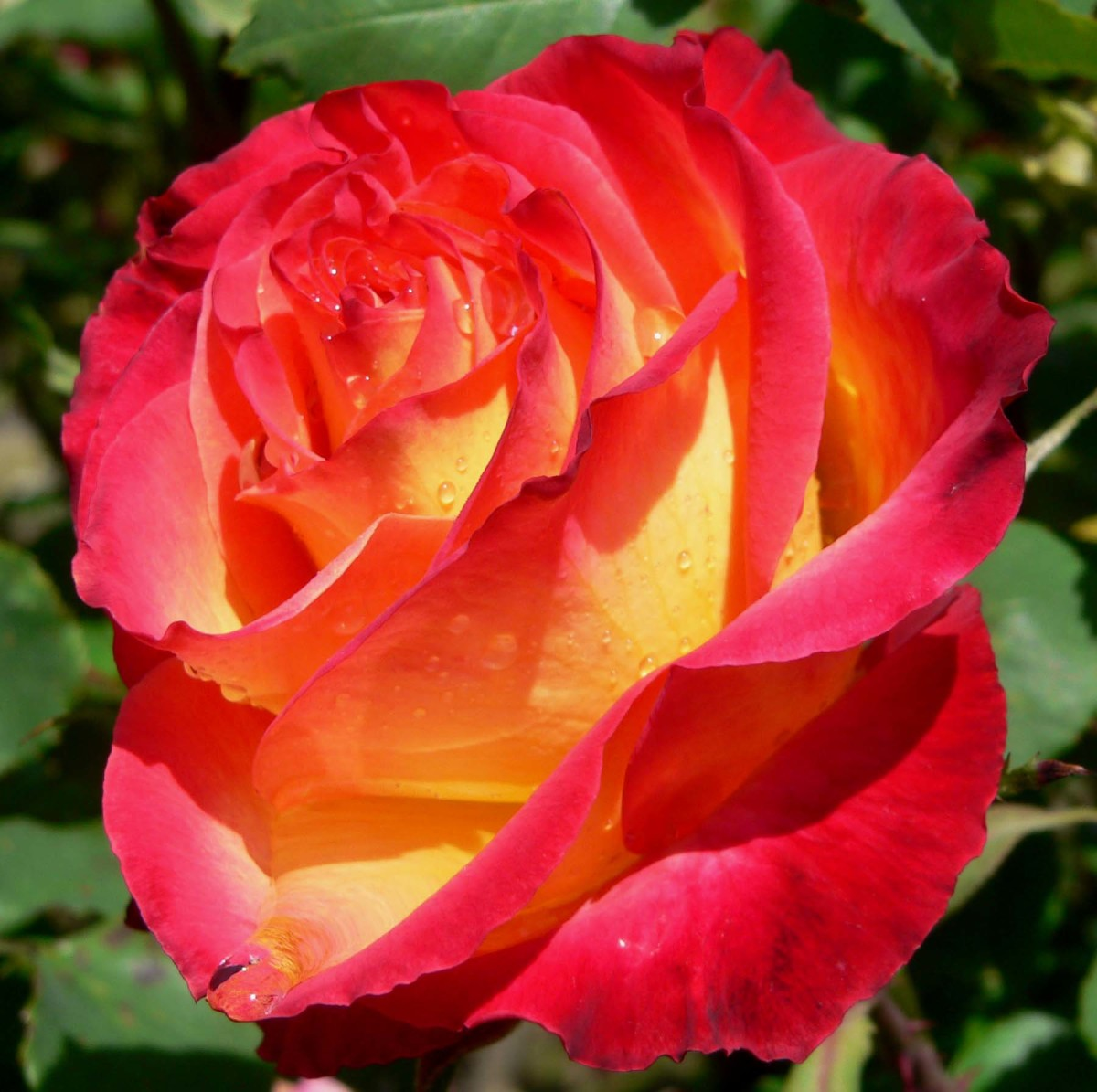 the-health-benefits-of-rose