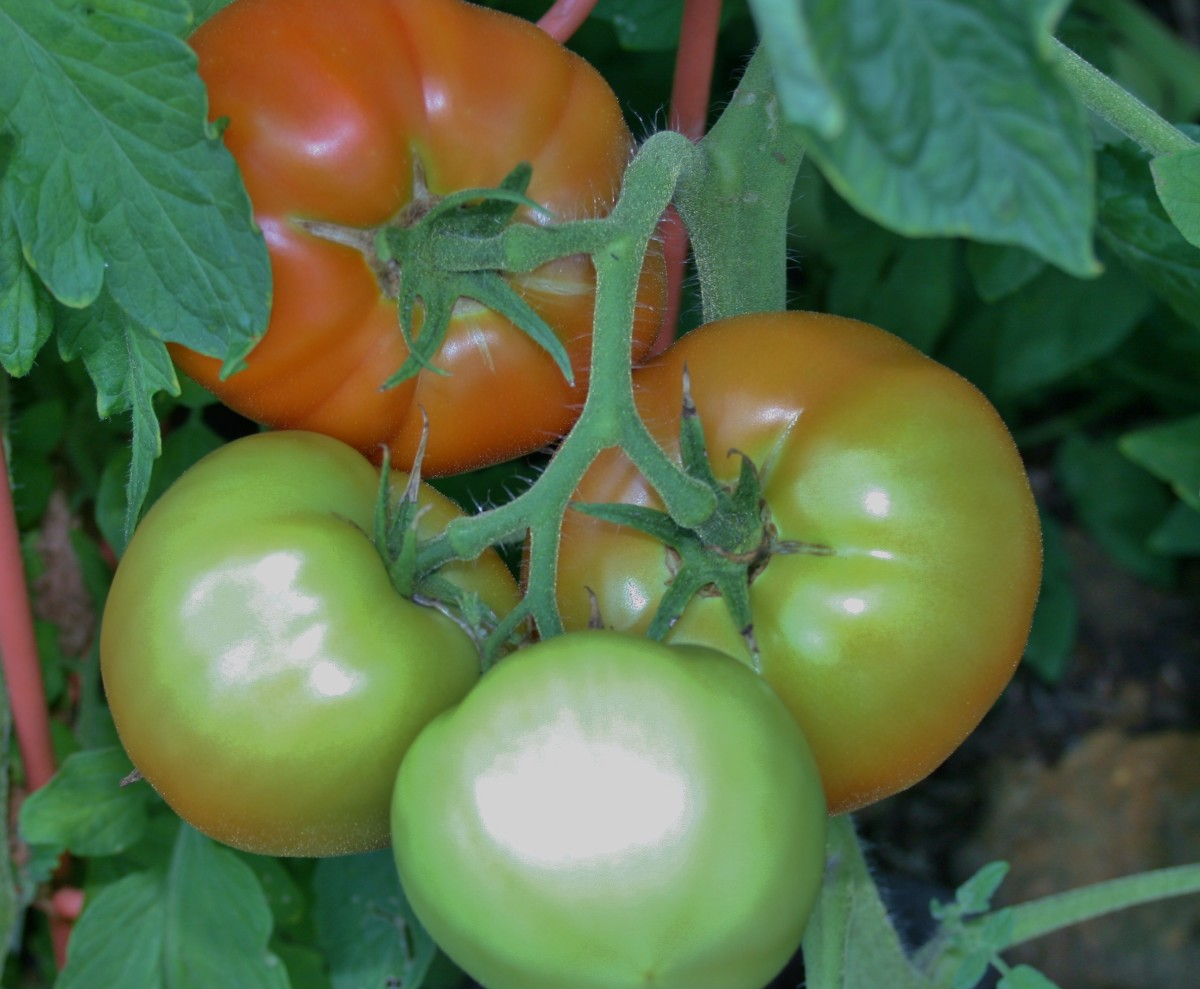 The fruit on tomato vines can be really heavy. Staking will prevent the vines from breaking.