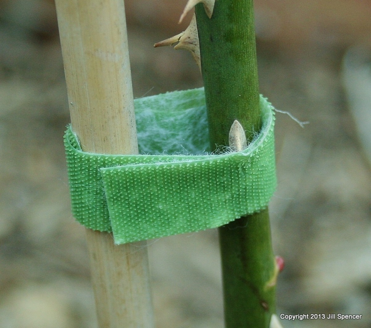 "Velcro plant ""ties"" are easy to use on rose canes. There's no tying involved."