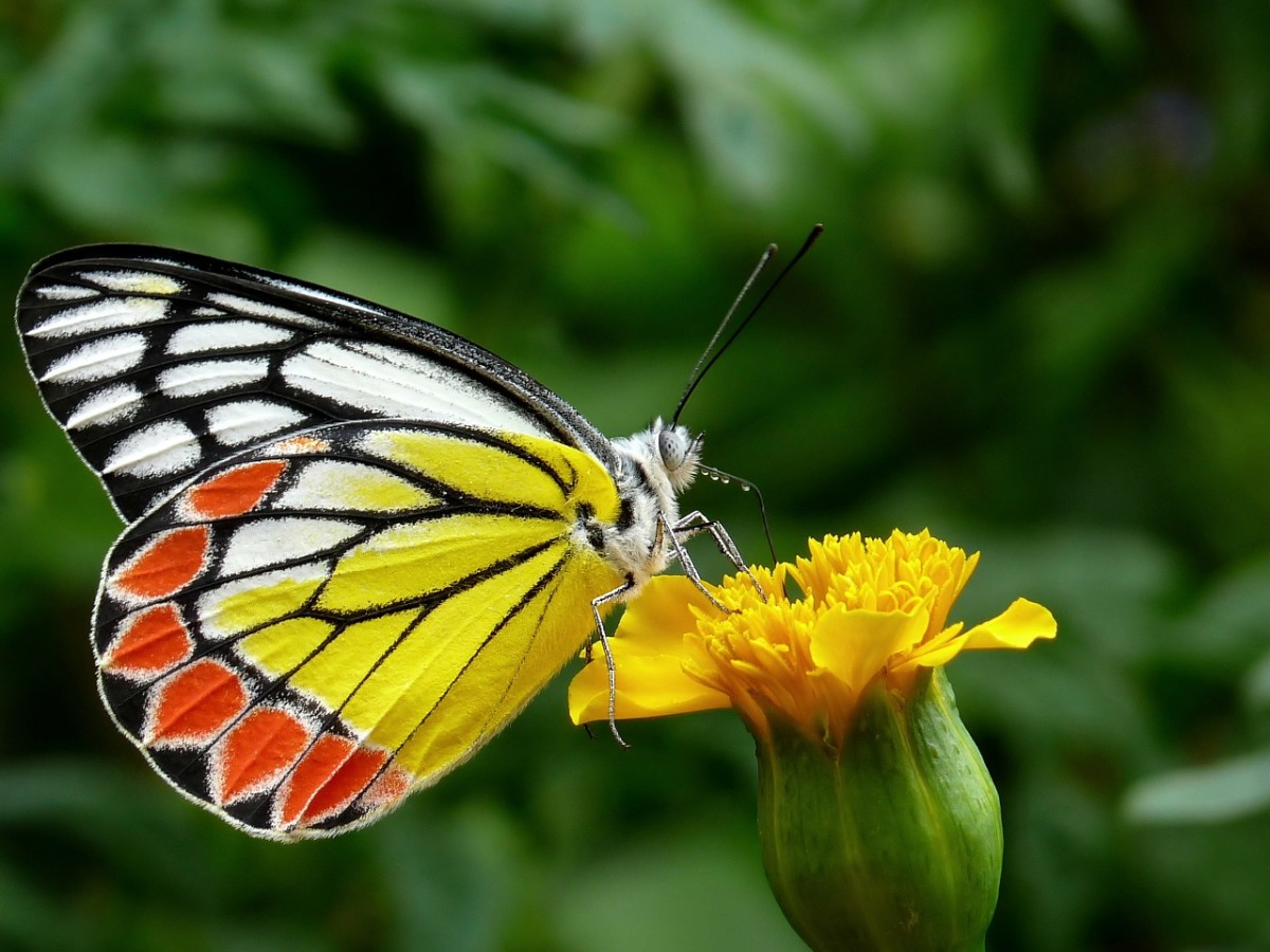 Th striking common Jezebel butterfly feeds on a flower bud.