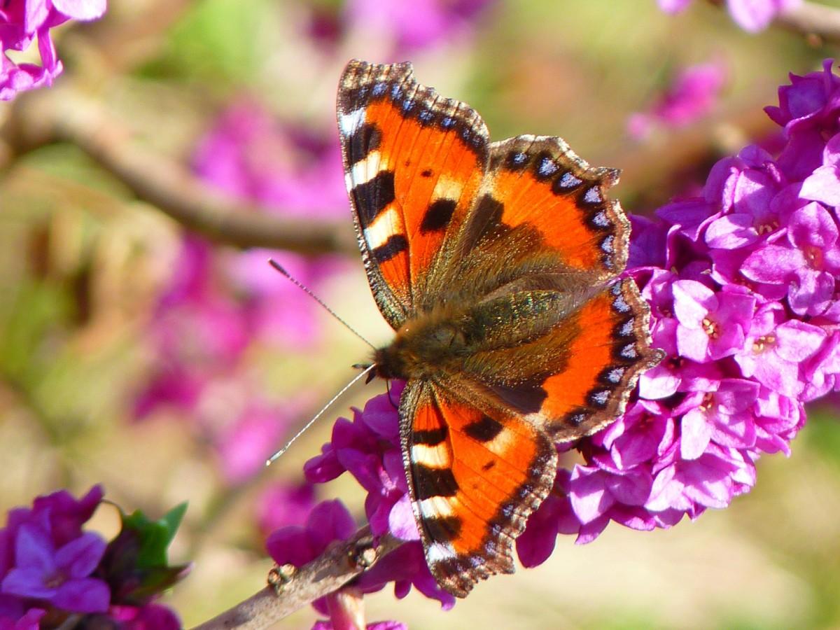 Little Fox Butterfly, Aglais Urticae