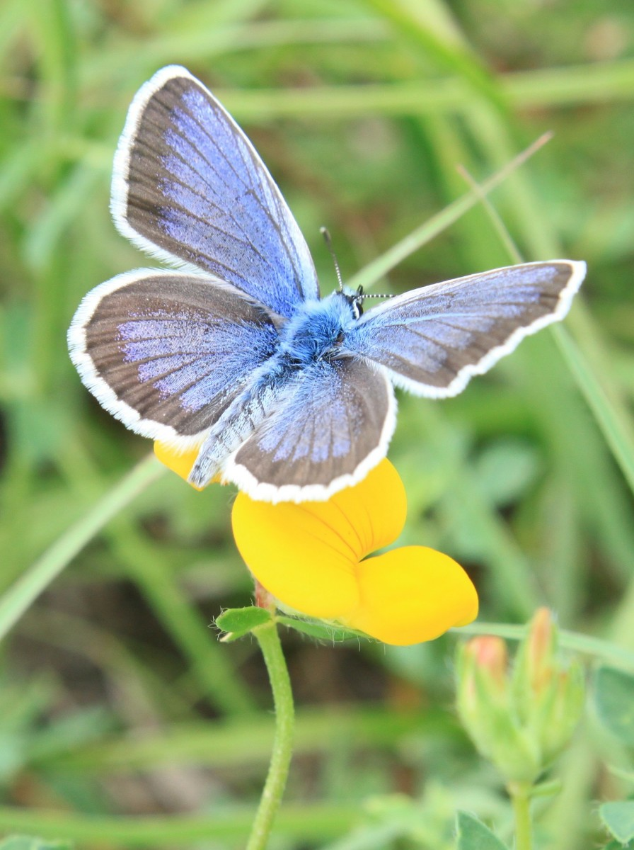Blue Butterfly, Icarus Lycaenidae