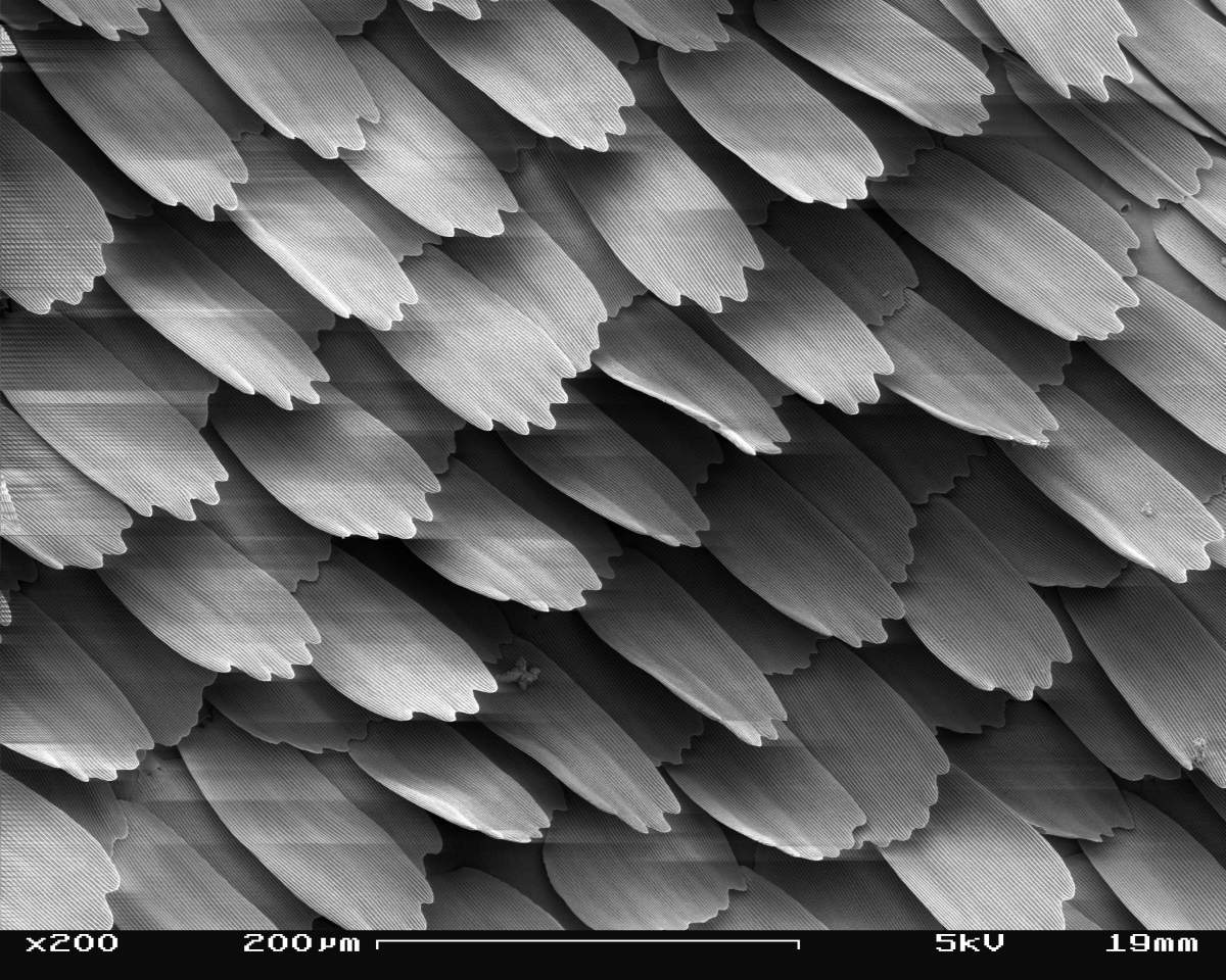 Electron microscope image of butterfly scales