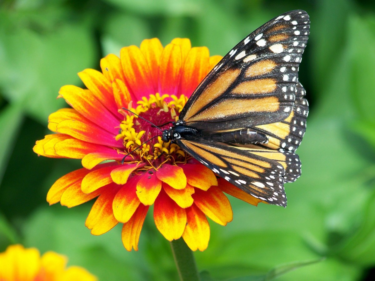A monarch feeding on a yellow flower.