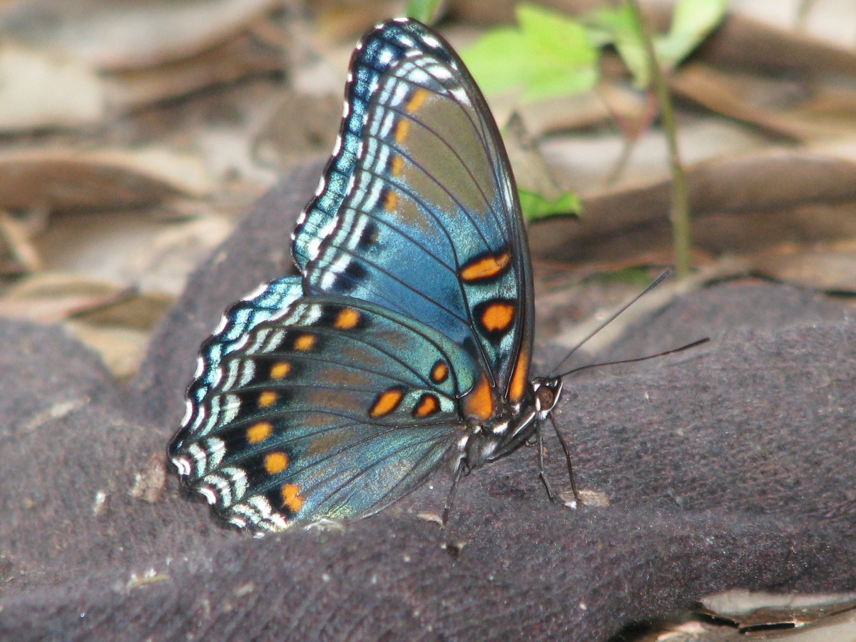 A delicate blue butterfly rests for a moment.