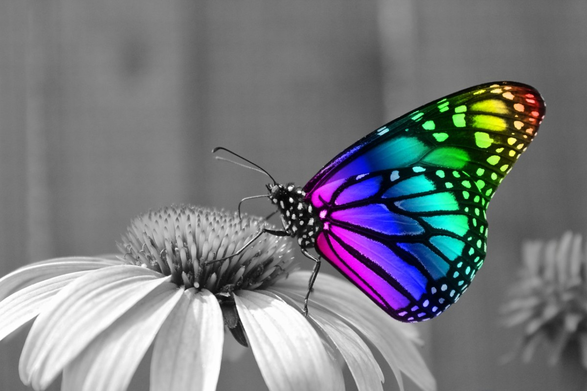 butterfly-pictures-beautiful-and-free