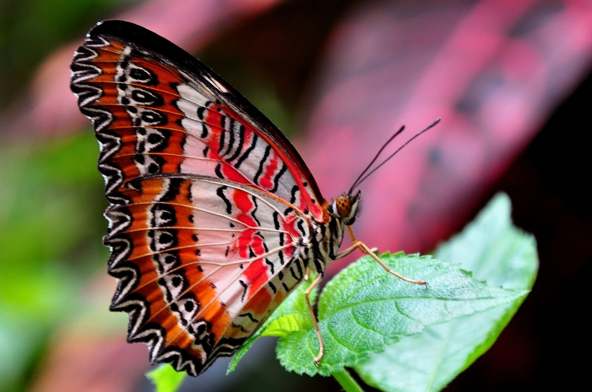 A gorgeous red lacewing alights on a leaf.