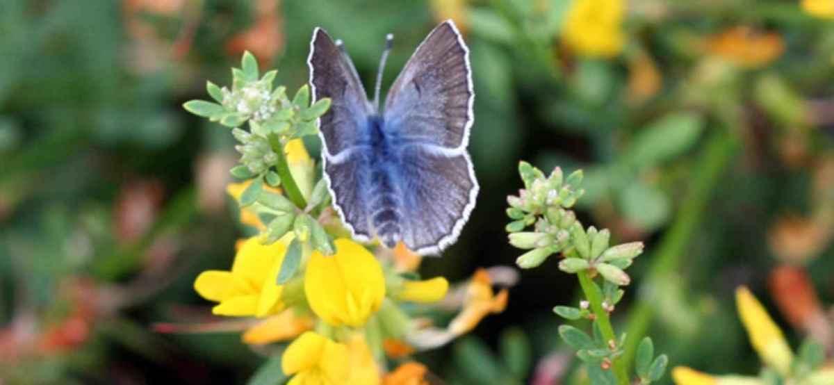 Palos verdes blue, the world's rarest butterfly