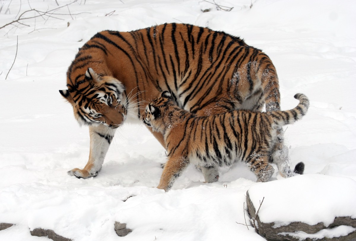 The tiger is an example of a mainly solitary species that parents their young until they reach adulthood.