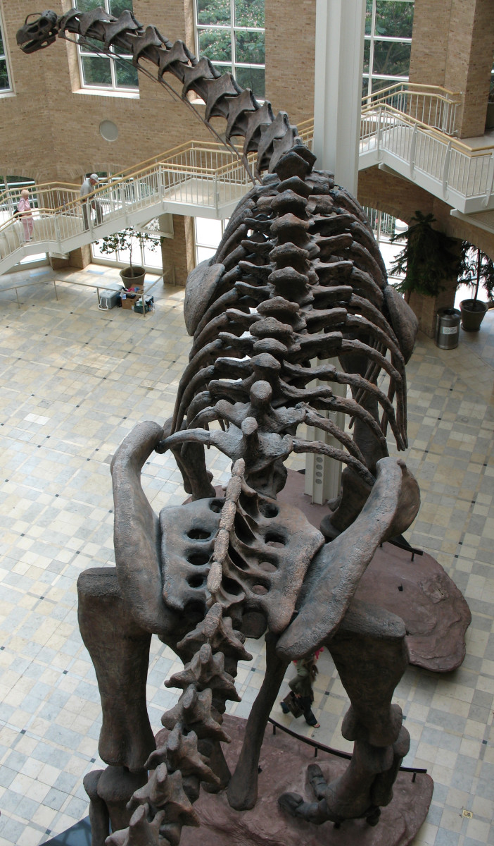 A reconstruction of an Argentinosaurus.  Estimated to weigh between 80-100 tons.
