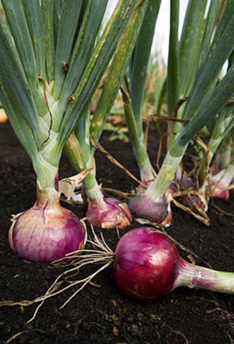 Onions - local and organic is always best