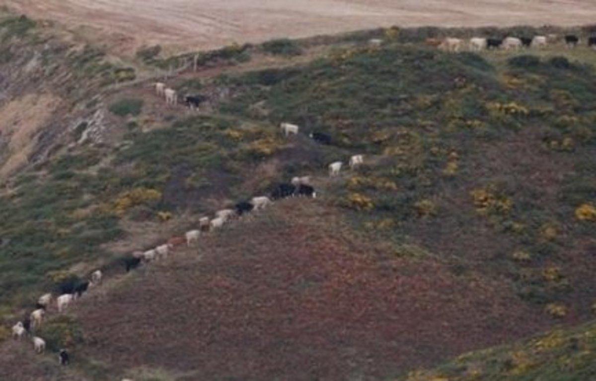 An actual cow path