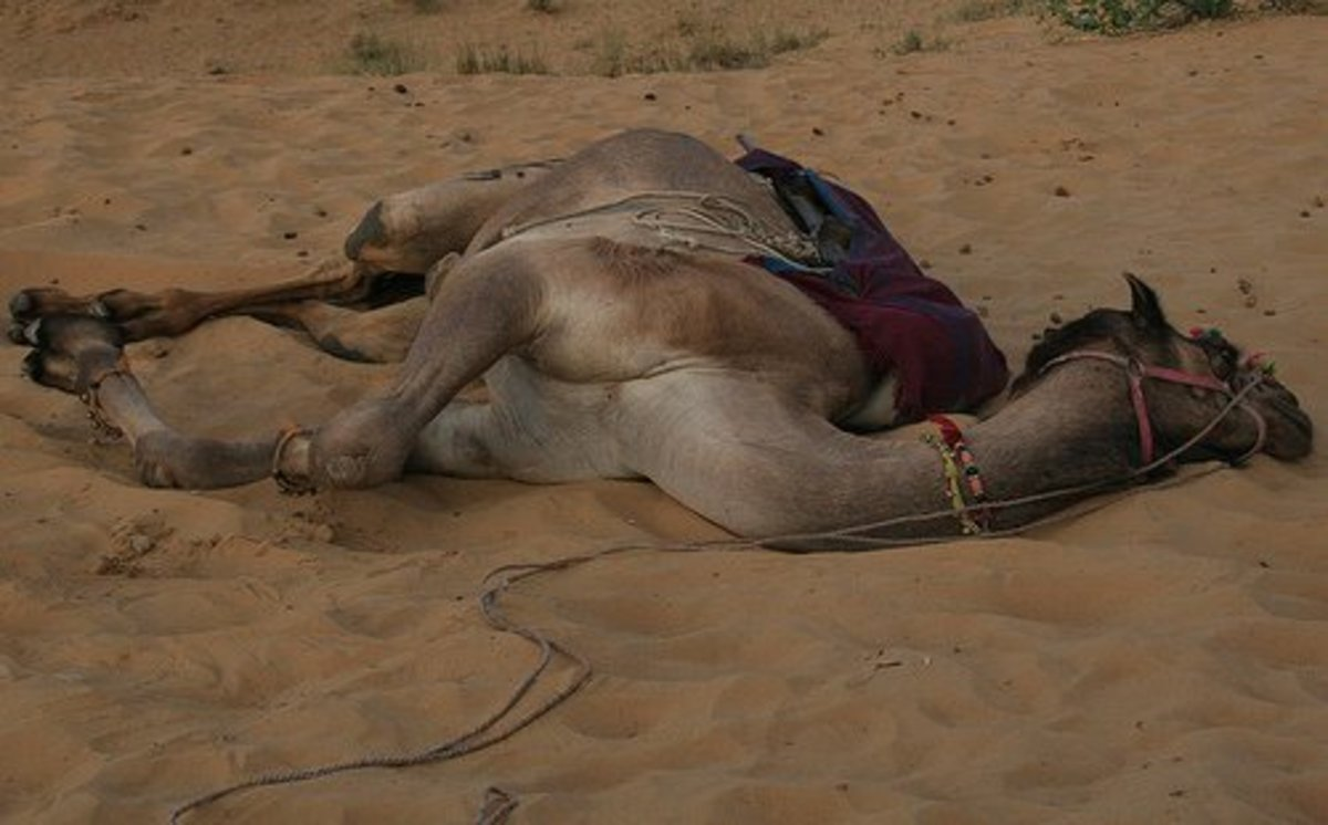 Camel Rolling in the Sand