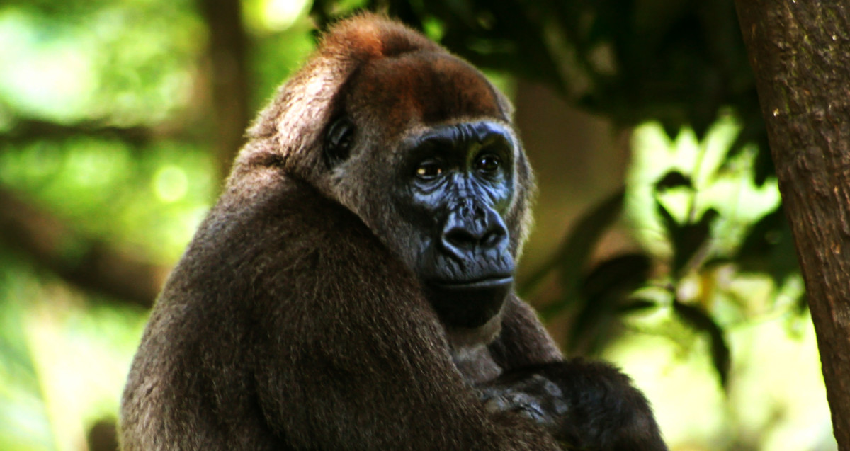 Cross River Gorilla - A Critically Endangered Species