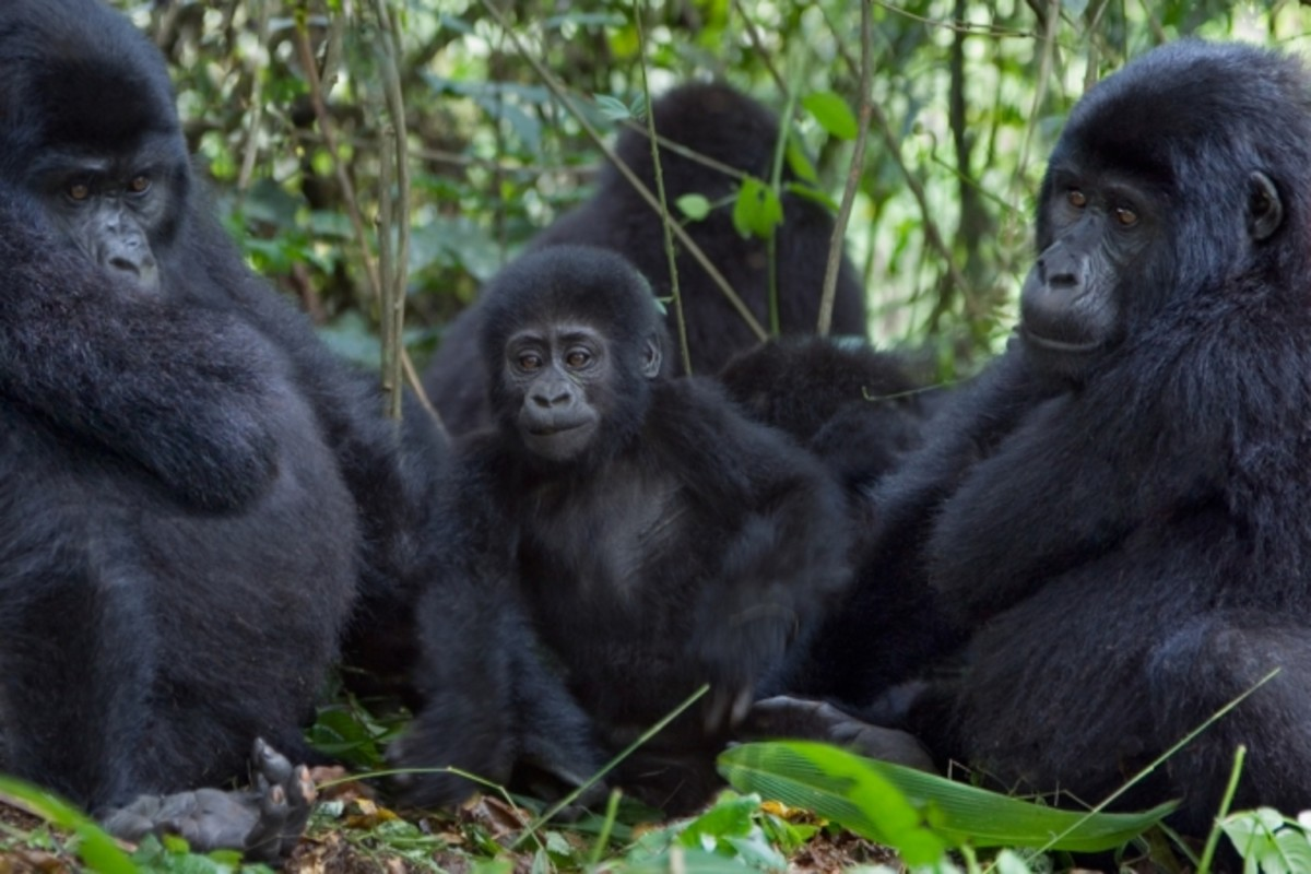 Cross river gorillas