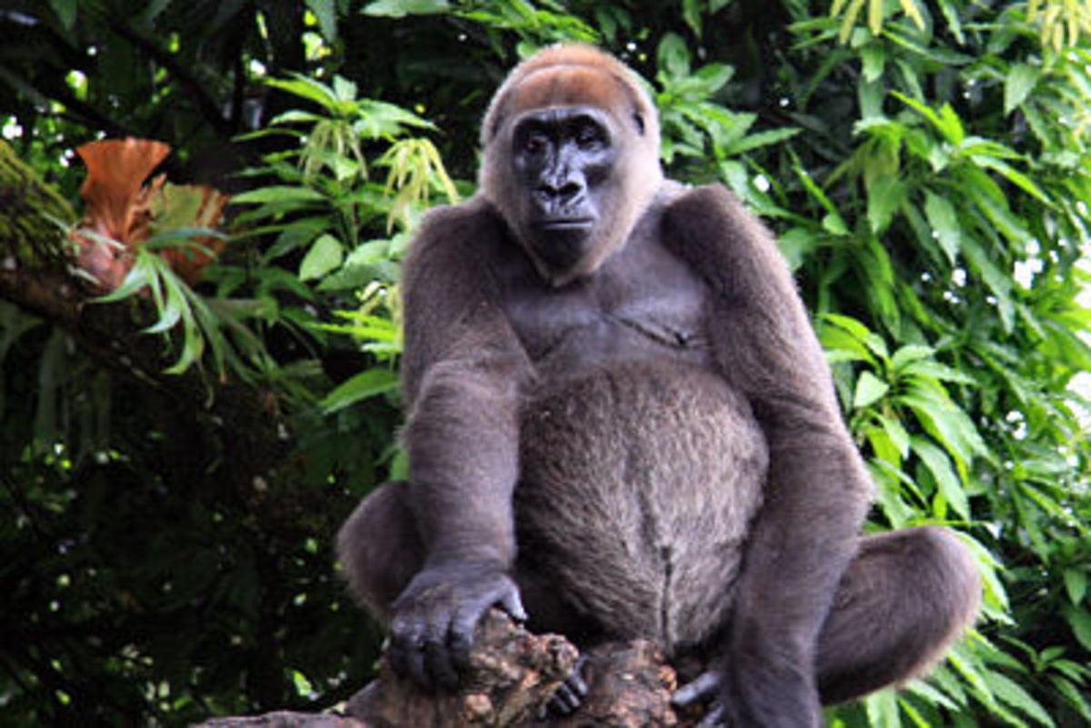 Cross River gorilla, Limbe Wildlife Centre, Cameroon