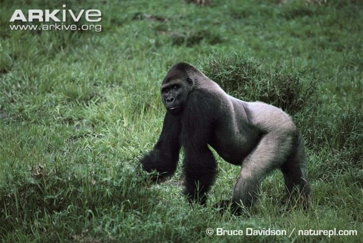 Mature male Western gorillas are known as 'silverbacks', and are named after silvery-white hair on their back, rump and thighs