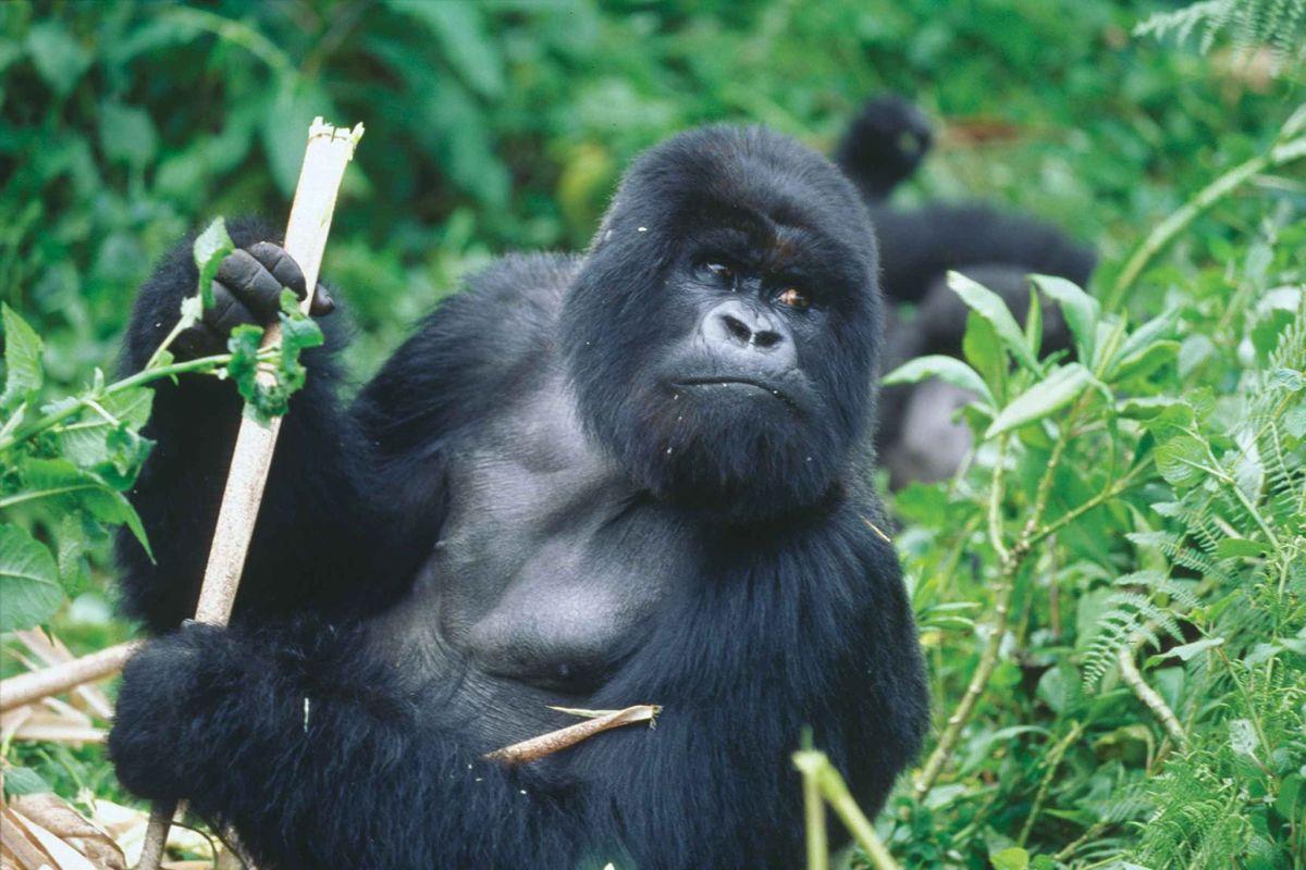 Silver back cross river gorilla gorilla diehli