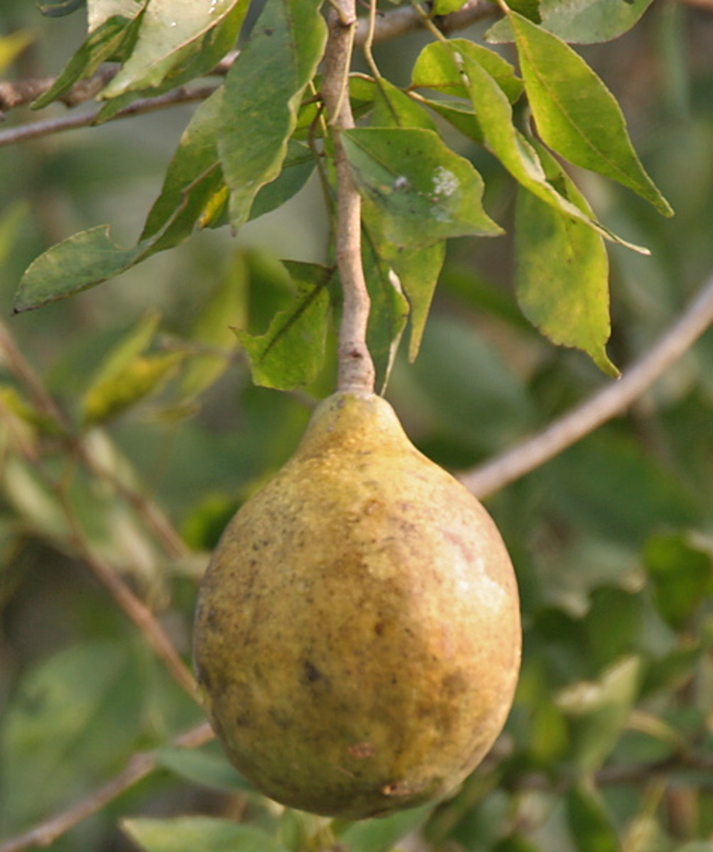 bael-fruit-stone-apple-or-aegle-marmelos-ans-its-health-benefits
