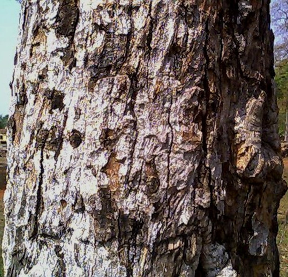 Bark of the bael tree