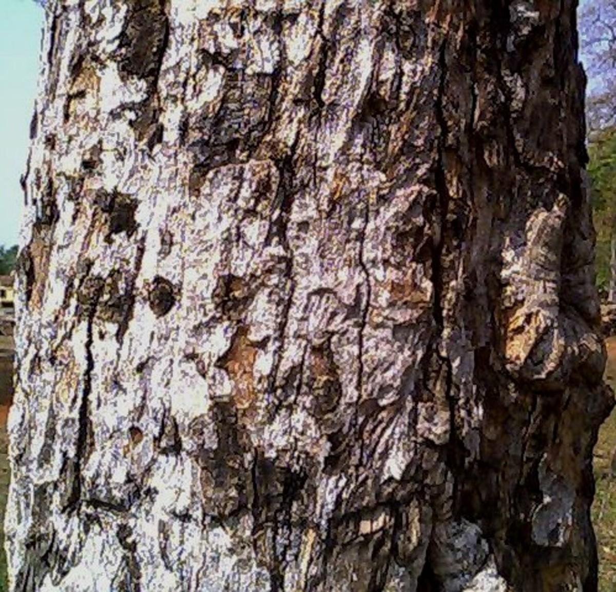 Bark of the bael tree