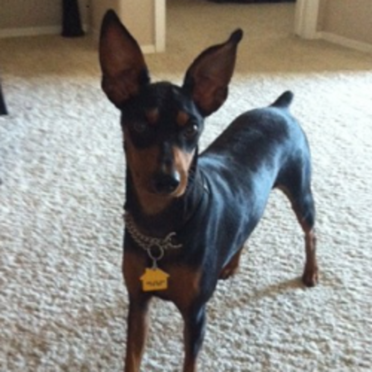 The Min Pin Breed - Mini Doberman or Miniature Pinscher?