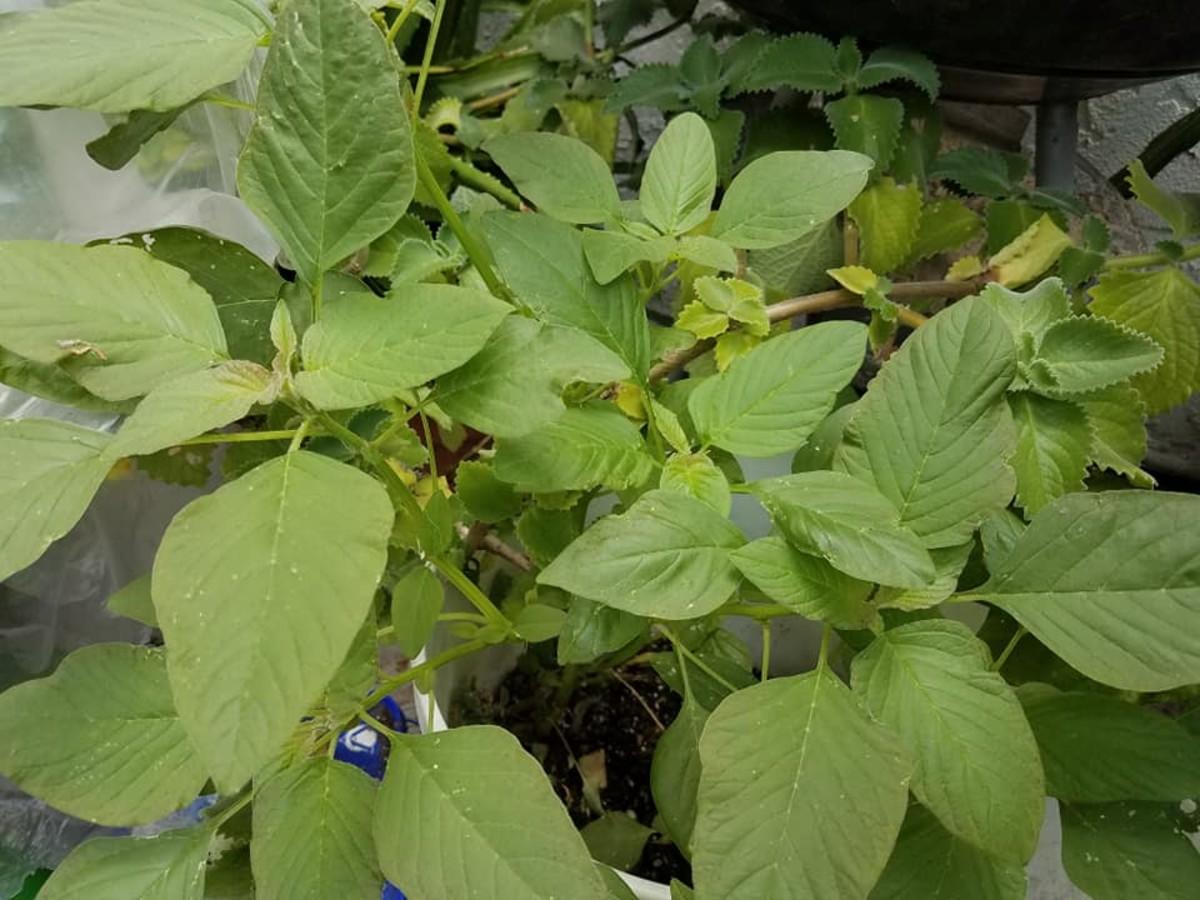Growing edible amaranthus dubius, spleen amaranth, or kalunay (Filipino).