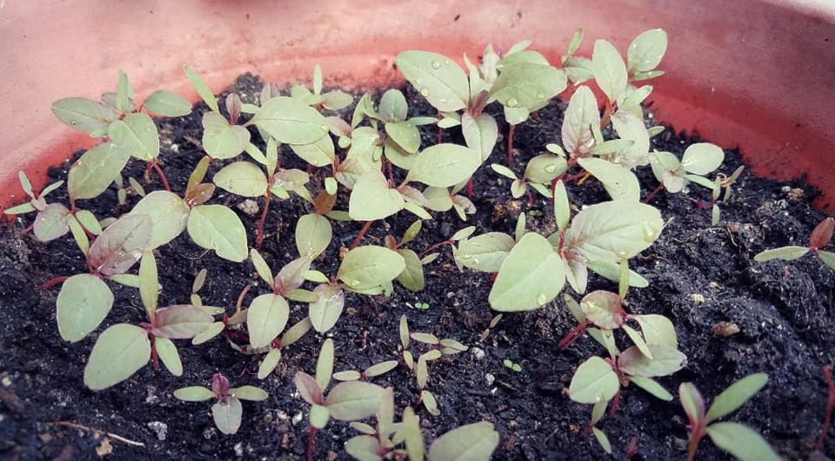 Amaranthus dubius seedlings in different stages of growth.