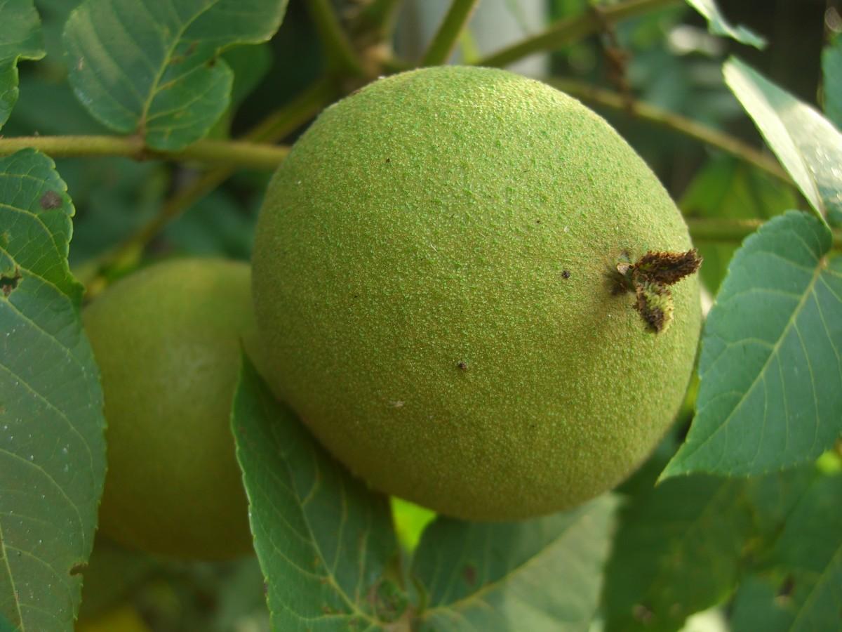 Black walnut in its green husk