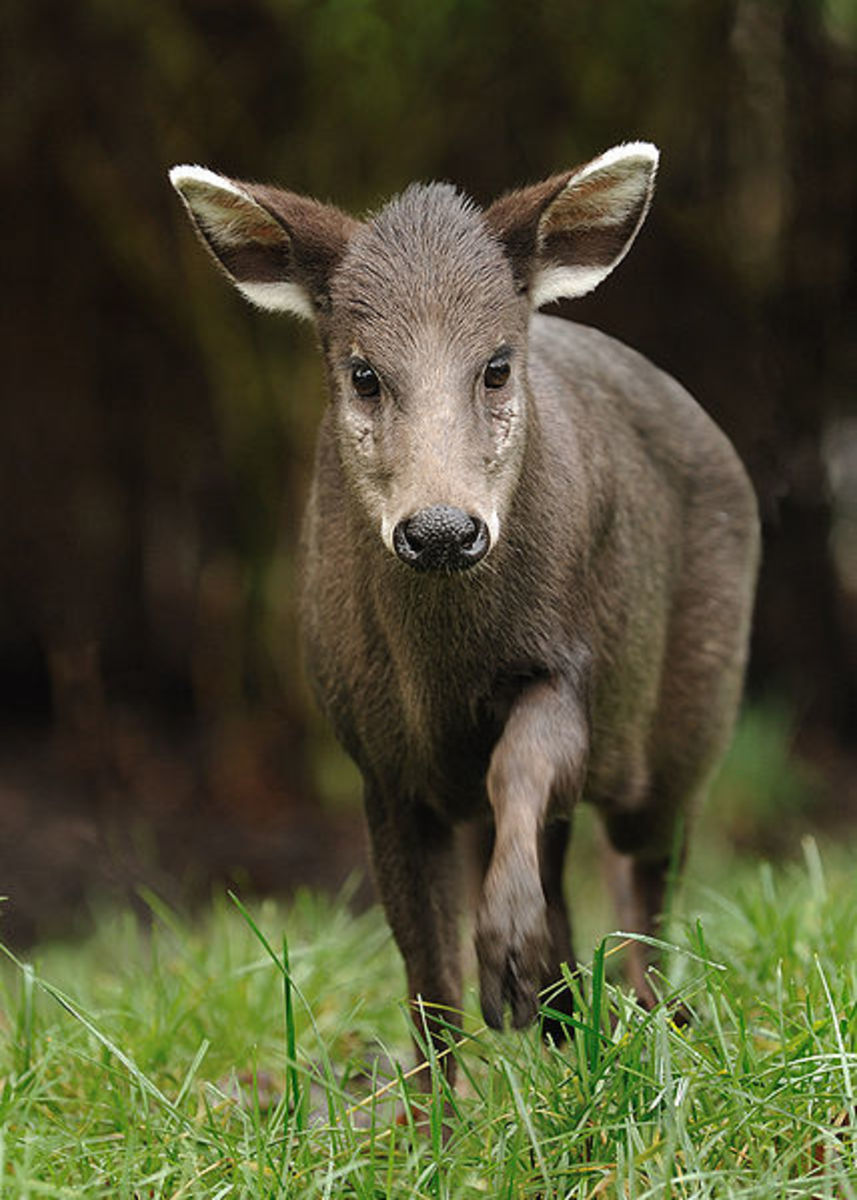 As shown here, mature female Tufted Deer do not have fangs.