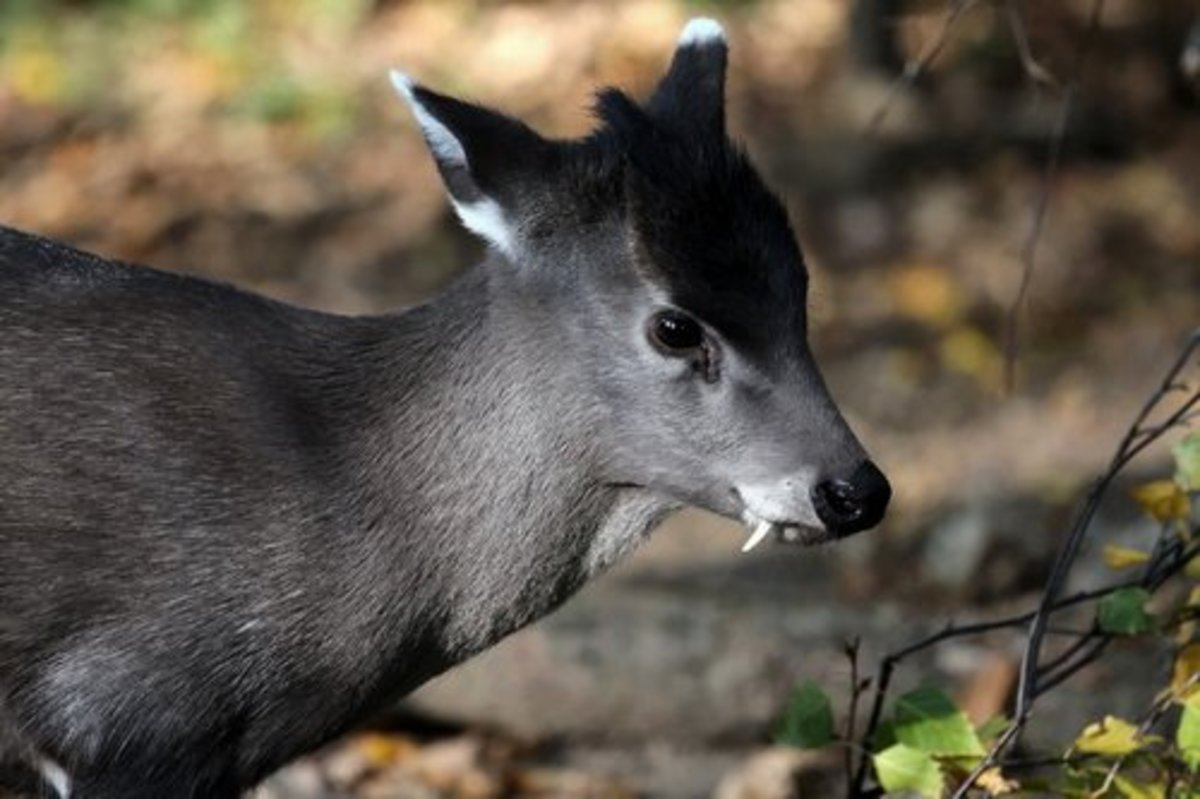The male Tufted Deer, complete with fangs.