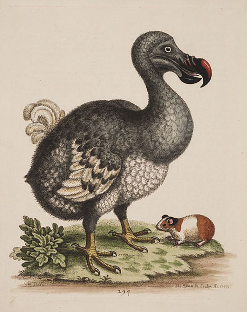 The Dodo, and the Guinea pig, 1760