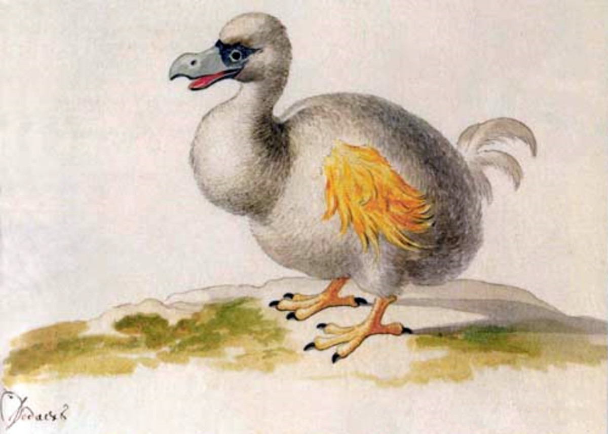 Painting of a hypothetical white Dodo