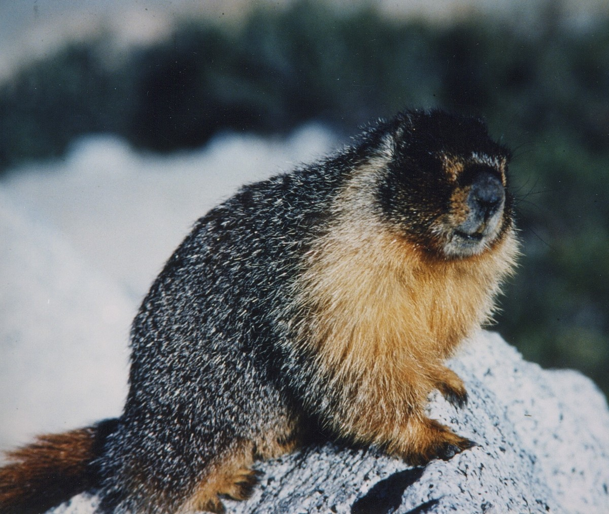 Mature yellow-bellied marmot (Marmota flaviventris)