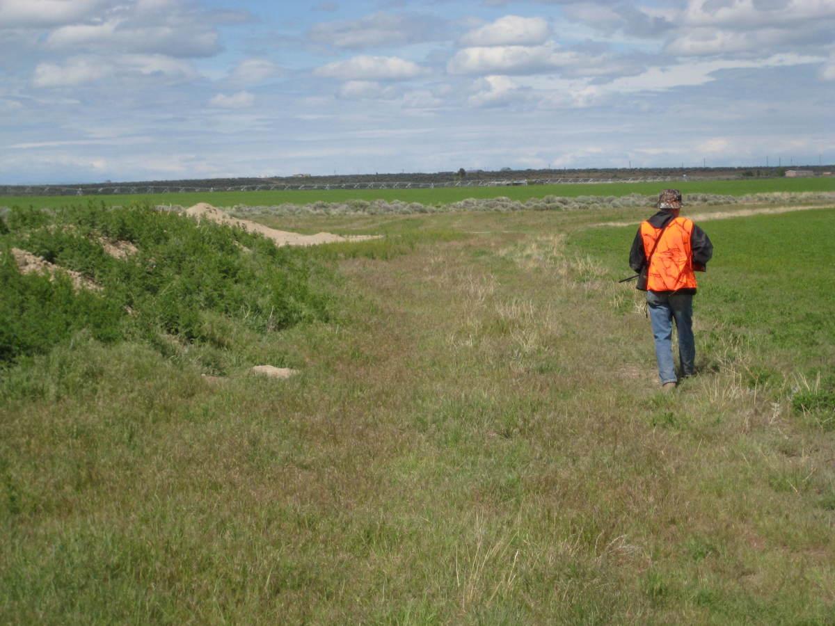 Dan patrols the edge of an alfalfa field.