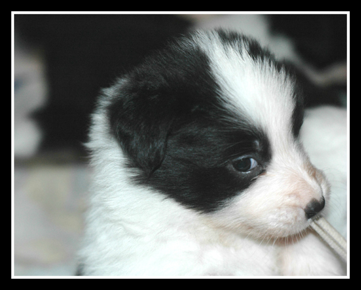 Pictures of Puppies | 45 Free Cute Border Collie Puppy Images