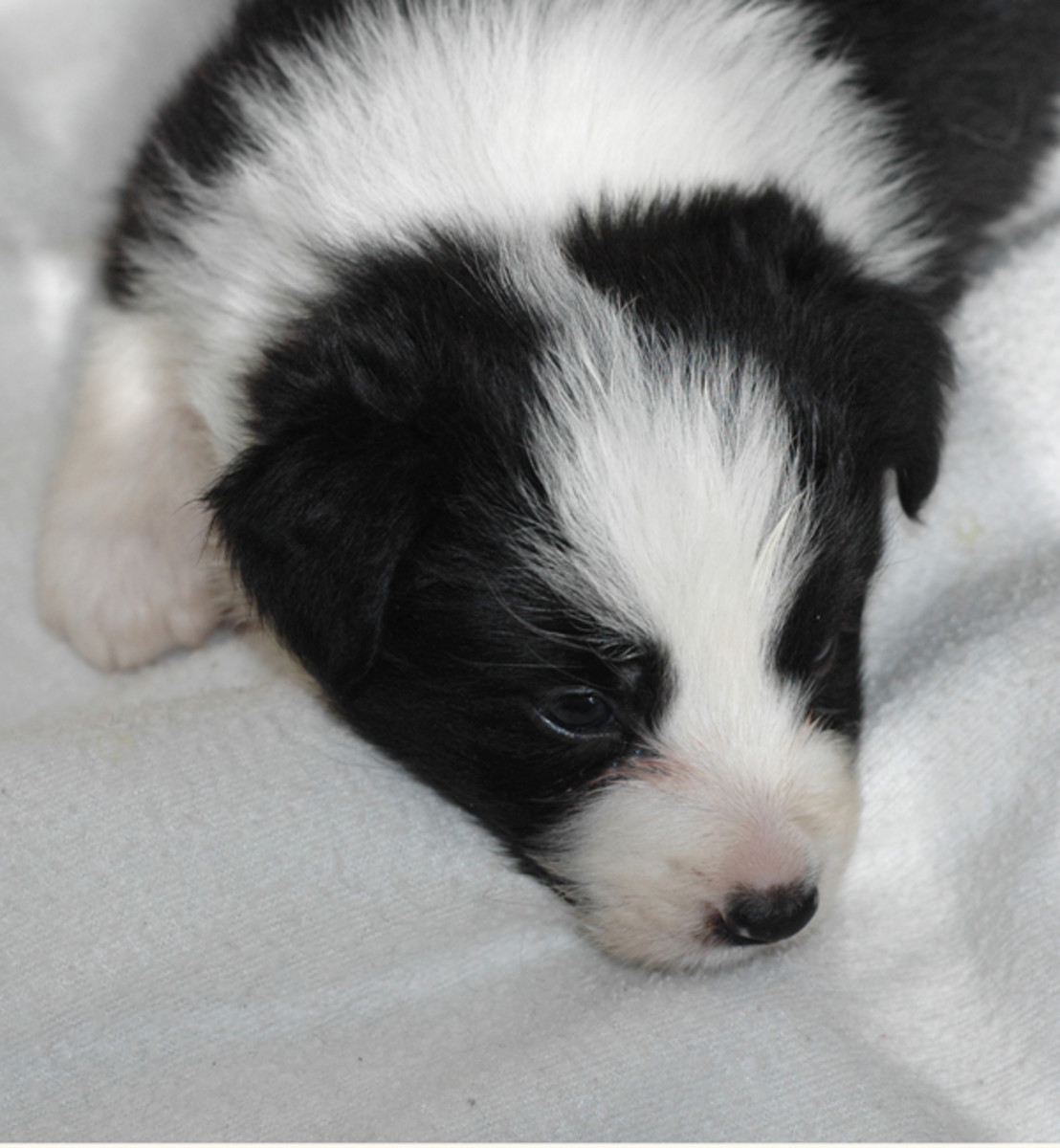 """Josie"" 4 week old border collie female puppy"