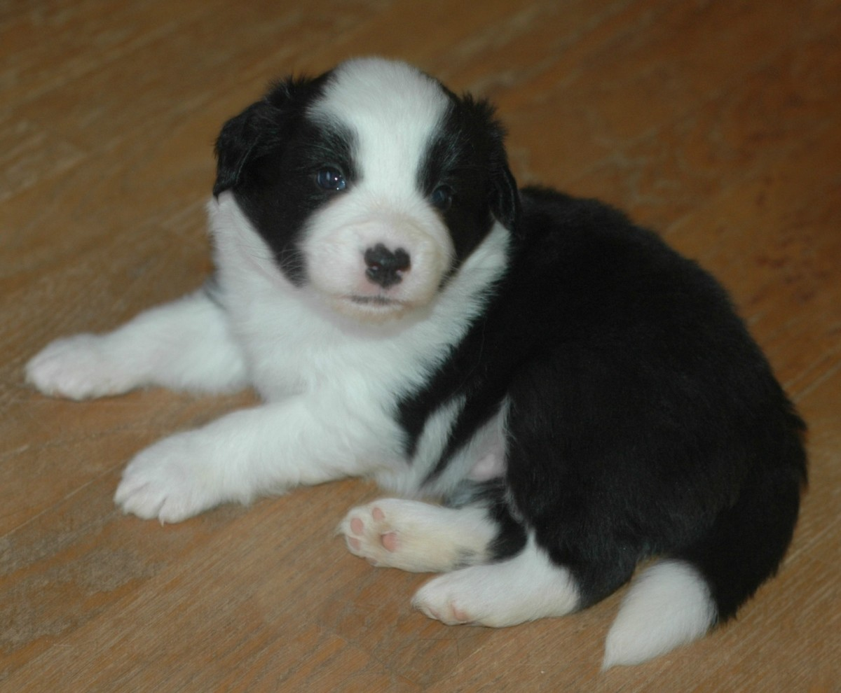 Border collie male puppy from the Beaches Litter: Navarre