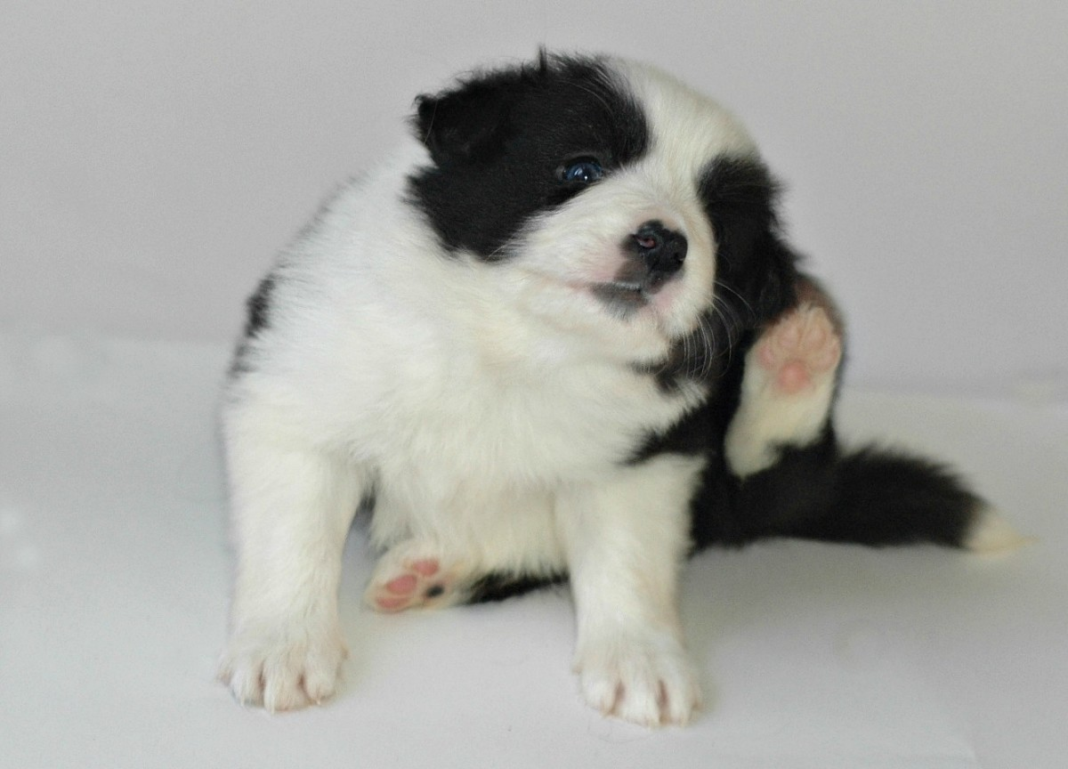 """Inman"" a 4 week old male border collie puppy"