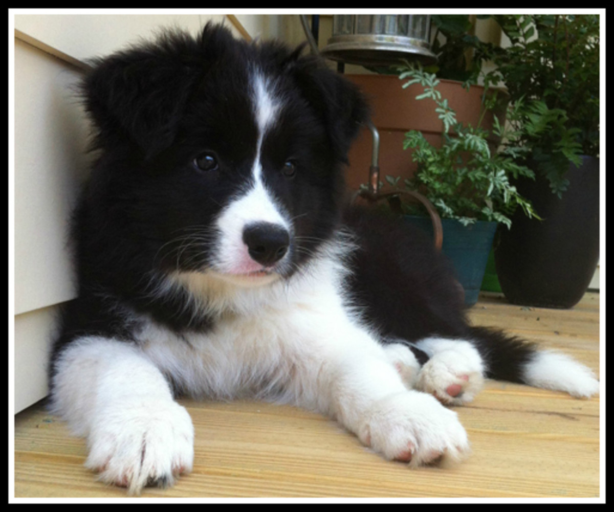 50-pictures-of-puppies-50-cute-border-collie-puppies