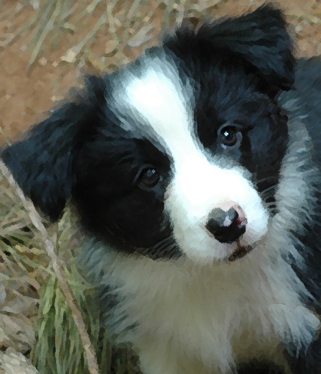 8 week old female border collie puppy