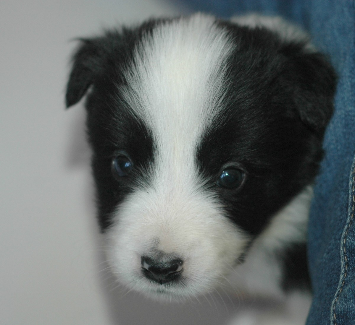 """""""Edge"""" a 4.5 week old male puppy"""