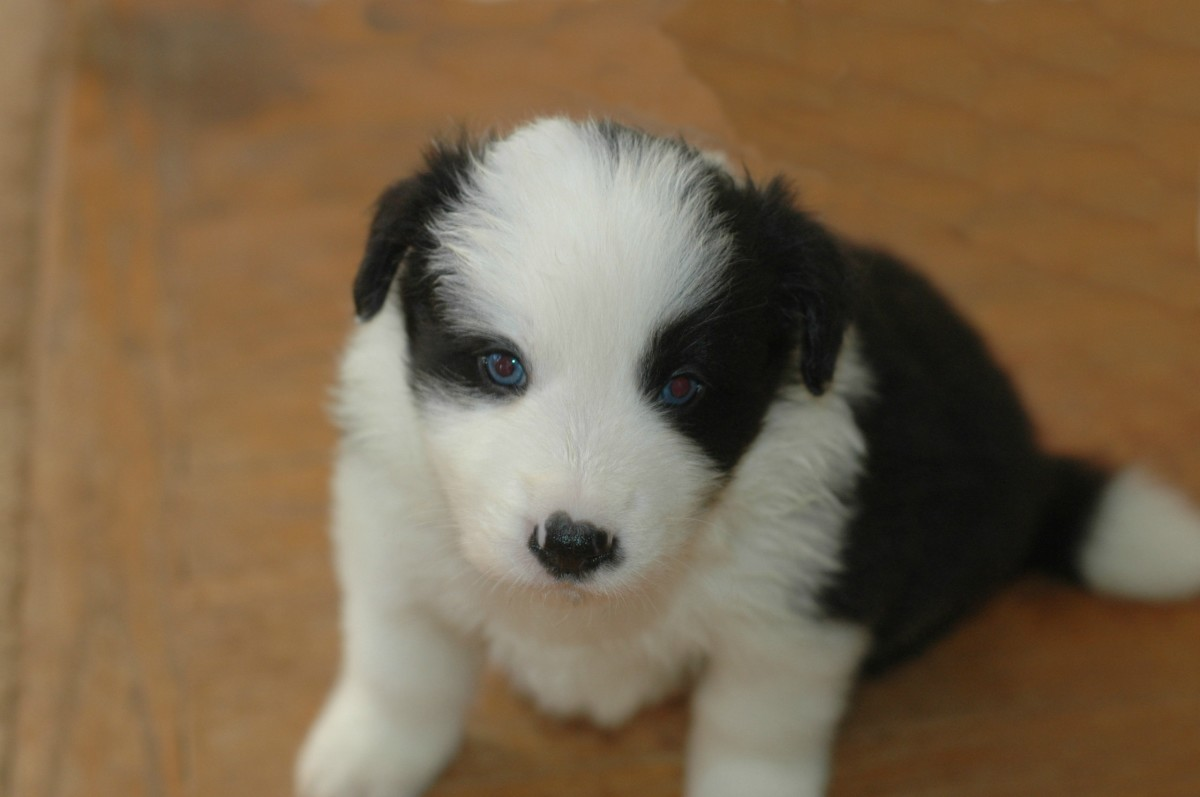 Border Collie Male Puppy with Blue eyes