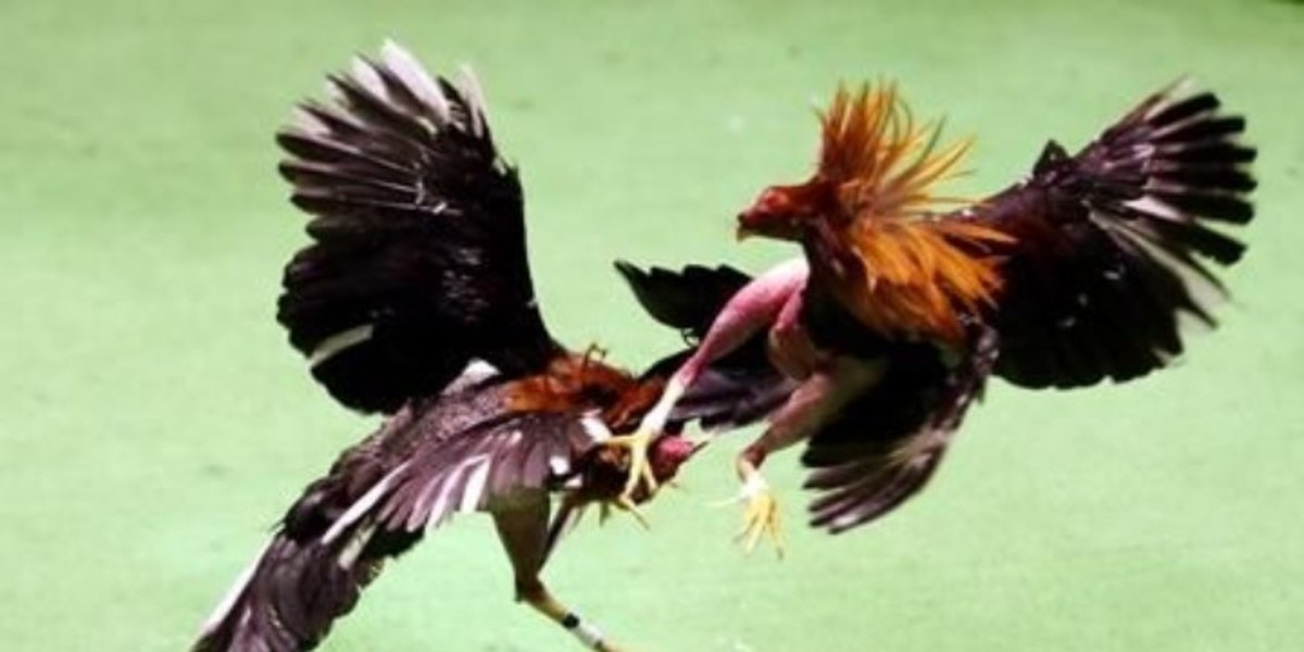 Illegal Cockfighting in America; A Rough Life for a Rooster