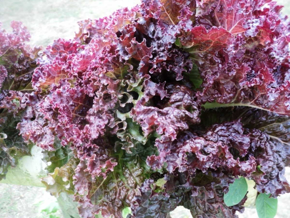 Healthy rose lettuce in recycled bottle