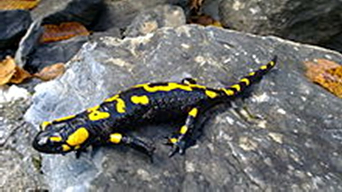 A fire salamander like the one pictured would have been completely alien to residents of the UK in the 19th century.