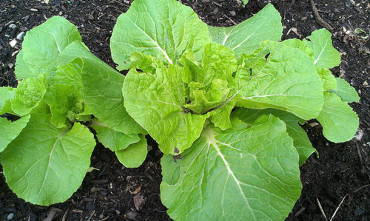Plant Spotlight: Chinese Kaboko Cabbage